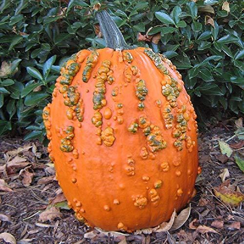 David's Garden Seeds Pumpkin Frankenstein Scarface