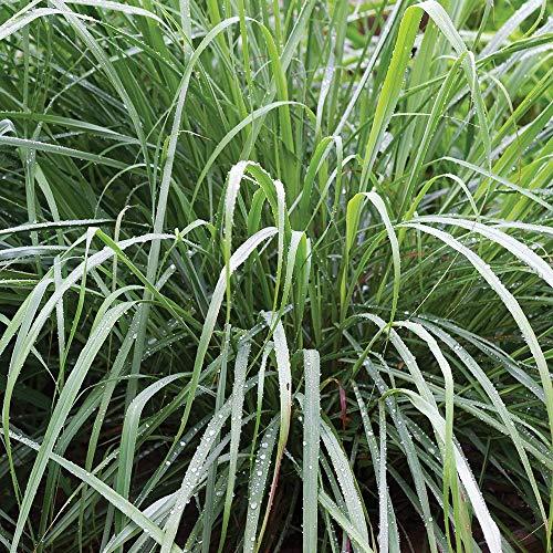 Burpee Lemongrass Cymbopogon Citratus | 10 Multi-Seed, Pellets