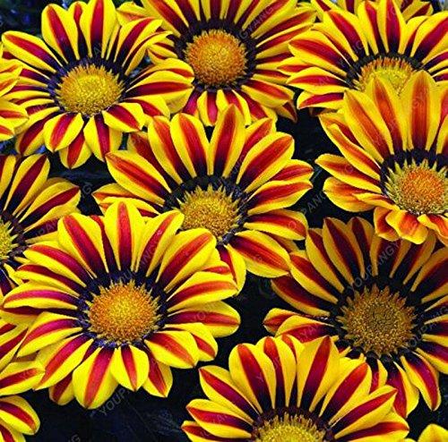 100pcs/sac belle couleur Graines de fleurs rares Tapissant Chrysanthème Graines vivaces Bonsai plantes pour jardin Ornements Jaune clair