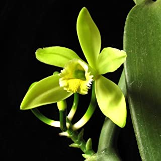 50pcs Seeds Vanilla Bean Seeds Planifolia - Spice Plant Orchid Vanilla Bean Seeds Flower from Udesignwecustomize