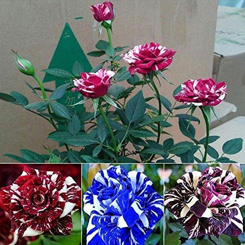 Oldhorse 20 / 50Pcs Graines de Rose Rare Fleurs,Floraison Minuit Plantes Bonsaï D'intérieur/Jardin (50)