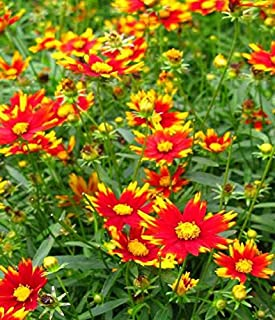coreopsis big bang