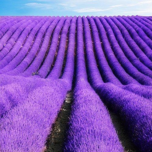100 graines / sac graines de lavande, les graines de lavande, de belles graines de fleurs, très parfumé, plante de lavande pour la plantation de jardin à domicile