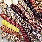untreated kernel corn - Ornamental Corn Wilda's Pride Seeds - Untreated Vegetable Seeds Package - 1/2 LB Package
