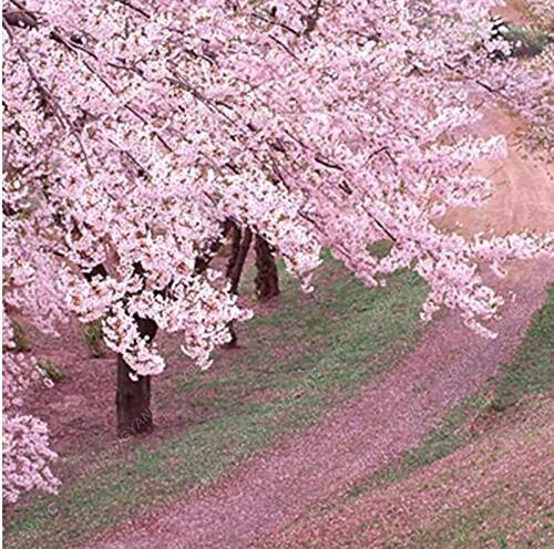 20 Pcs/sac japonais Sakura arbre Graines Bonsai Fleur de fleurs de cerisier Livraison gratuite ornement-Plante vivace Fleurs Jardin Violet