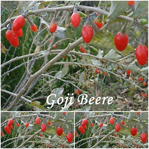 Goji Beere (Chinesische Wolfsbeer) -Samen -Lycium barbarum (Bocksdorn) ! (50)