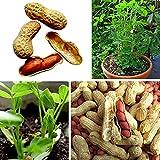 XQxiqi689sy 10 unidades/bolsa de semillas de cacahuete rojo son naturalmente comestibles. El cacahuete de crecimiento rápido anual y más productivo son semillas pequeñas y fuertes al aire libre