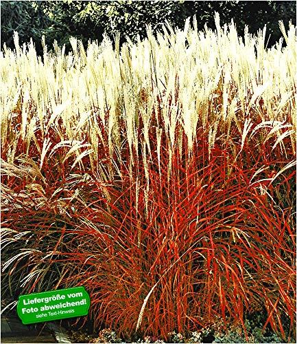 BALDUR Garten Ziergras \'Indian Summer\' Chinagras, 1 Pflanze, Chinaschilf, Miscanthus sinensis
