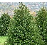 Abete rosso Picea Abies Peccio Albero di Natale in vaso ø19 cm h.50/60 cm