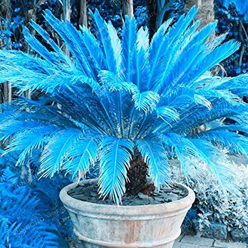 Grosses soldes!!! Rare graines Bleu Cycas, Sago Palmier, bonsaï fleur, le taux de 98% des plantes en pot en herbe pour la maison jardin, 100pcs / bag