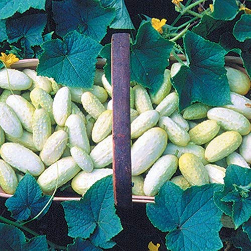 Miniature White Cucumber Seeds (25 Seed Package)
