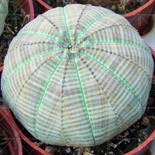 100pcs vrai Succulent Cactus graines de figue de Barbarie Bonsai Graines de fleurs Plante en pot pour jardin purifient l'air empêchent le rayonnement 7