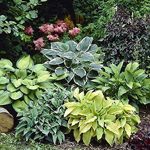Hosta-Samen, mehrjährig, Wegerich, Lilie, Blumentopf, für Zuhause, Garten, Bodenbedeckung, Pflanzengras, 20 Stück
