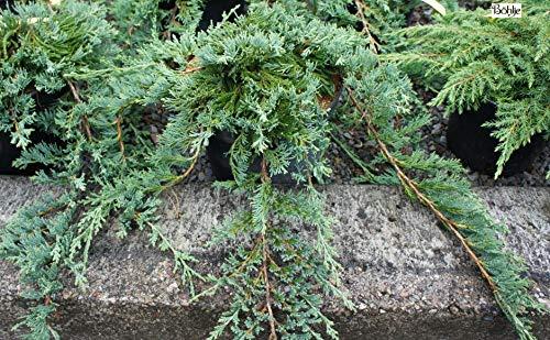 Juniperus horizontalis Glauca - blauer Teppichwacholder Preis nach Stückzahl Einzelpreis