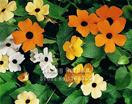 Grosses soldes! 10pcs / lot Graines Thunbergia Alata, Black-eyed Susan Graines Bonsai Plante en pot bricolage jardin