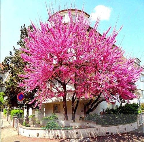 20 Pcs/sac japonais Sakura arbre Graines Bonsai Fleur de fleurs de cerisier Livraison gratuite ornement-Plante vivace Fleurs Jardin Rouge