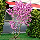Qulista Samenhaus - Rarität 10pcs China Judasbaum Avondale reichblühend Zierstrauch Baumsamen Blumensamen winterhart mehrjärhig
