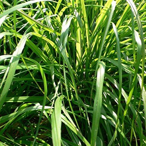 Balcon en pot Fleurs Strelitzia Graines semences Bonsai Oiseau Paradise Plante jardin Plantation 100 particules / lot