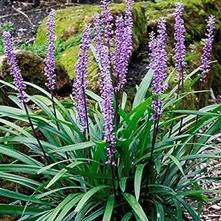 Big Blue Liriope (Monkey Grass) - Live Plant - 4 Inch Pot