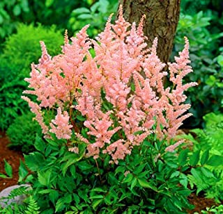 WANCHEN Sale!100 Pcs/Pack astilbe Plant Exotic Beautiful Potted Flower Flores,Bonsai plantas for Home Garden,#QO0TC5 (Seeds not Plants)