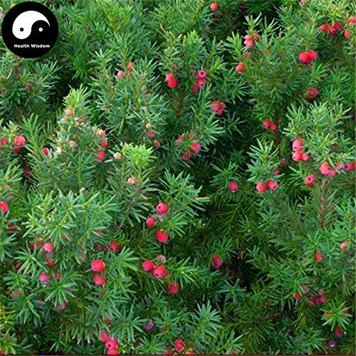 Comprar semillas de Taxus chinensis árbol 30pcs planta china árbol del tejo Hong Dou Shan