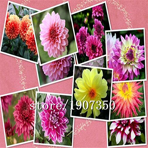 Dahlias Graines bonsaï fleurs semence de vente Big vente chaude bricolage jardin