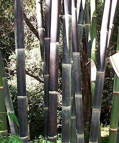 50 graines de bambou rares graines de Bambu de bambou Moso noir géant paquet professionnel graines d'arbres Bambusa Lako pour le jardin à la maison jaune