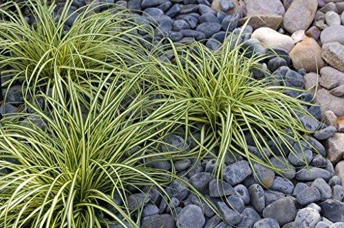 10 x Carex oshimensis 'Evergold' 1 Liter (Ziergras/Gräser/Stauden) Japan Gold Segge ab 3,19 € pro Stück
