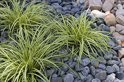 10 x Carex oshimensis 'Evergold' 1 Liter...