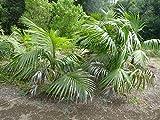 Elwyn 135pcs Kentia Palm (Howea Forsteriana) Tree Seeds