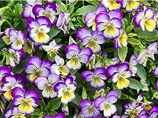 100+ Viola Johnny Jump-Up Flower Seeds, Heartsease, Purple-Yellow, Blooms Heavily, Self-seeding Biennial, Beautiful, Decorative! From USA