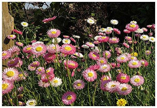 Lot 100 graines Immortelles d'Australie en mélange - plantes annuelles