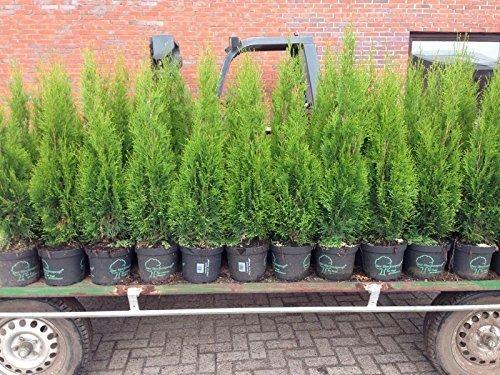 Pflanzen Für Dich -  Edel Thuja Smaragd,
