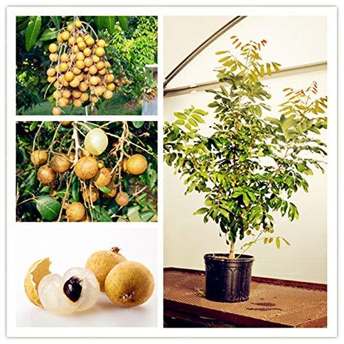 Pinkdose Nussbaum Pistazien Samen Chinese Pistacia seltener Outdoor Obstbaum Garten tropische Samen Bonsai Plantas einfach zu wachsen
