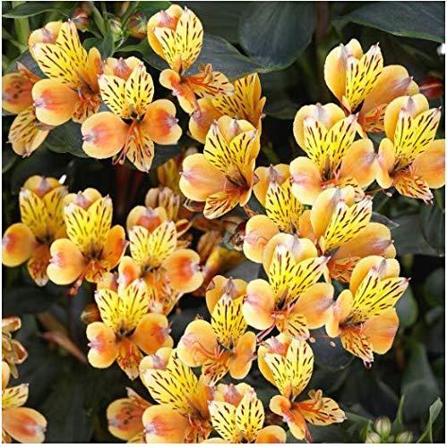 Tomasa Gartensamen- 50 Stück Inkalilie Blumensamen Regenbogen Lilie Blumensamen Bonsai Lilie Blumen Paradise exotische samen,winterhart mehrjährig