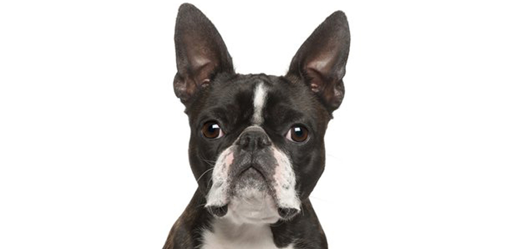 Boston Terrier Dog Sounds & Dog Barking App