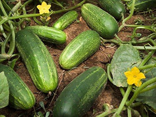 35 WISCONSIN SMR 58 PICKLING CONCOMBRE 2018 (graines de légumes Heirloom non-ogm!)