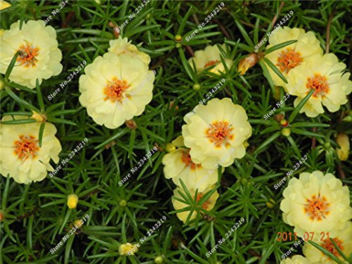 Portulaca Seed, Moss-rose Pourpier Plantes d'intérieur Fleurs doubles semences Balcon et cour Bonsai Seed en herbe Taux 95% 120 Pc 10