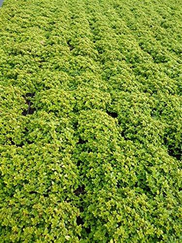 Thymus 3 Stück praecox Goldstream Thymian Bodendecker teppichbildend winterhart