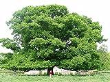 Quercus ROBUR - Hermoso roble Inglés. 5 bellotas Buenas Últimas selecciones