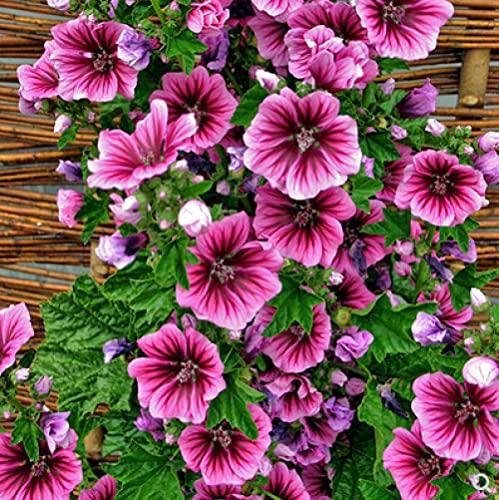 Eantpure Semillas de macetas de Flores,Semilla de Flor Flor Grande semilla de Girasol de otoño semilla-500g_Hanket,perenne Resistente Semillas