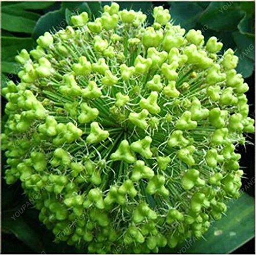 100 PCS/Sac oignon Graines géant Allium Graines Multicolor Balcon Fleurs belles plantes en pot de jardin à la maison blanche