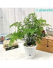観葉植物 シダ アジアンタム フレグランス 5号底面吸水鉢 育て方説明書付き Adiantum raddianum 'Fragrantissimun' フラグランス