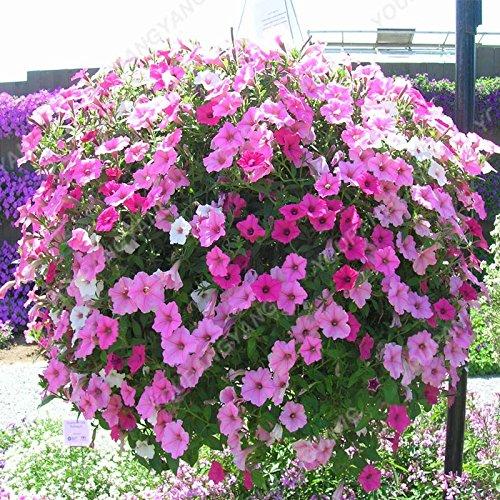 200 pcs/sac Petunia Graines Bonsaï Graines de fleurs Court Taille Jardin Fleurs Graines d'intérieur ou à l'extérieur Livraison gratuite Plante en pot Bourgogne