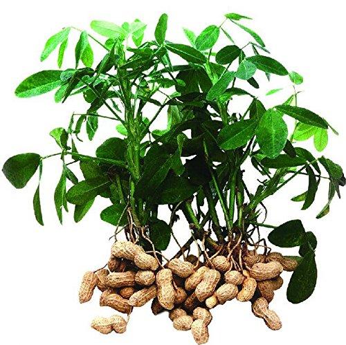10pcs / bag da giardino piante organiche arachidi semi, semi di ortaggi e anche i semi della frutta