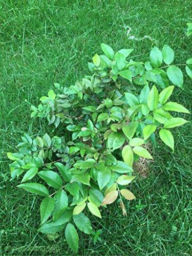 Vert: 30pcs fruits Graines du Brésil Grape Tree Jabuticaba Fruits Pousse sur son tronc Jardin Décoration Plante