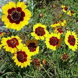 Plains Coreopsis 100+ Seeds Organic