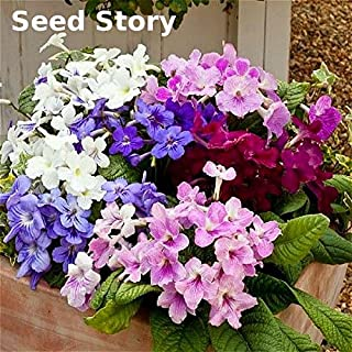 cape primrose plants for sale