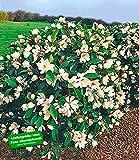 "BALDUR-Garten Duft-Magnolien-Hecke""Fairy"""