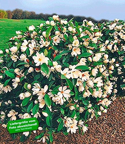 BALDUR-Garten Duft-Magnolien-Hecke